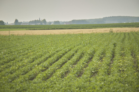 Field of soy cultivation with soy plants still green and maturing.