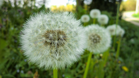 Taraxacum bloeit in zijn bloeiperiode en bestuivingsfase om andere bloemen zoals hij te krijgen.