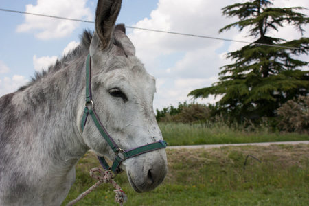 Closeup of a donkey tied with a rope on a farm.