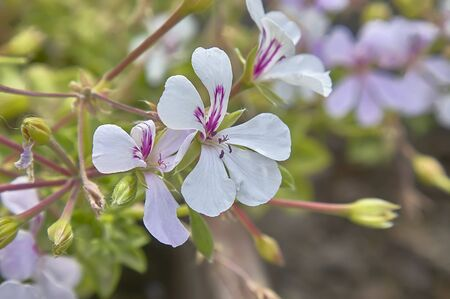 Small white flowers with purple veins on the petals that bloom in spring with the first mild temperatures.