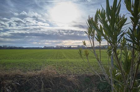新生の小麦と前景のオレアンダーのフィールドを持つ風景は、壮大な曇りの空に浸漬。