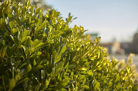 Texture of leaves of the plant of the evonym at spring with a thick foliage of leaves under the shining sun.