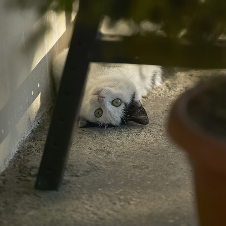 Little black and white cat on the ground as he rolls and plays with who is watching him.