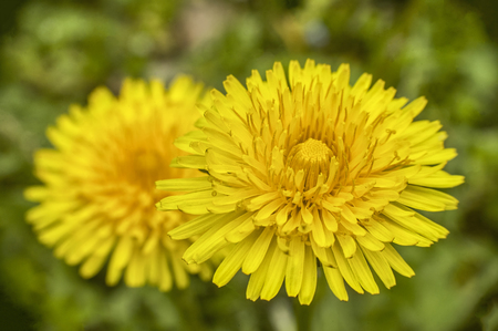 Enlargement of the dandelion flower with a very high level of detail.