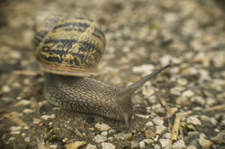 Slow snail moves in the direction of food on the asphalt that has plundered its natural territory.