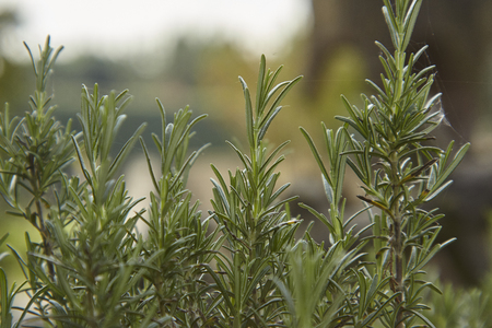 Detail of the rosemary plant that grows naturally in nature.