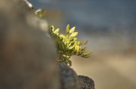 Leaves of a small shrub appearing growing among the rocks with the blurred background. Reklamní fotografie