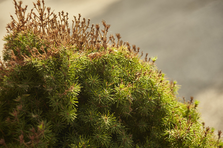 Detail of a pine with clearly visible needles which is made up of light from the sunlight at sunset.