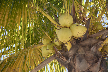 Coconuts not yet ripe attached to the palm from which they come.