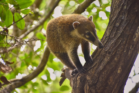 Exemplary of coatì (Nasua narica) immersed in the tropic forest where he lives climbing trees.