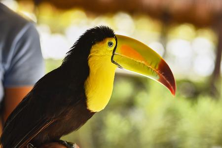 Close-up portrait of a toucan #3