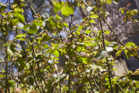 New leaves are born in spring illuminated and warmed by the spring sun that helps them grow