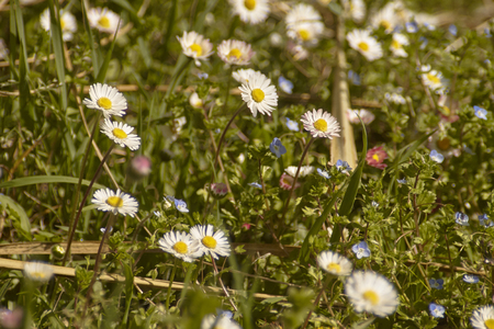 Daisies that bloom in spring immersed in the colors that the surrounding vegetation offer
