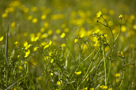 Detail of the yellow Daffodils that bloom in the meadows in spring