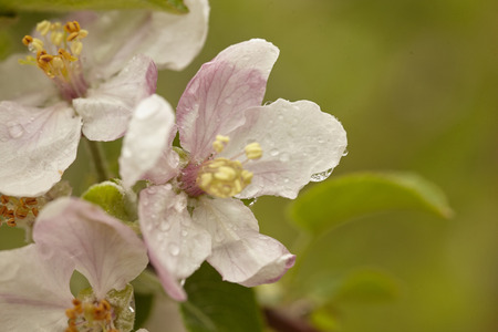 Flower of the apple tree blossoms in spring in the cultivation of apple orchards for the production of organic apples