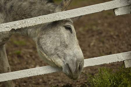 Donkey tries to feed himself by putting his head out of the fence