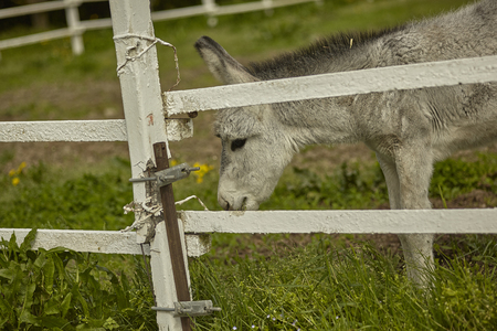 Mule or gray donkey behind the bars of the enclosure in which he is locked up in an outdoor farm Stock fotó