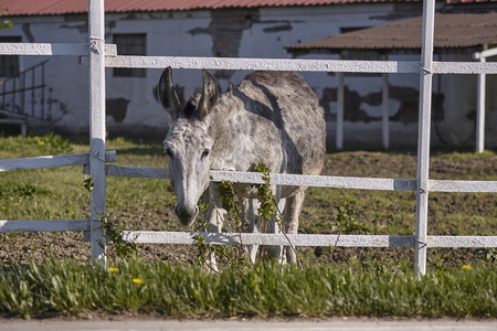 Mule or gray donkey behind the bars of the enclosure in which he is locked up in an outdoor farm Фото со стока