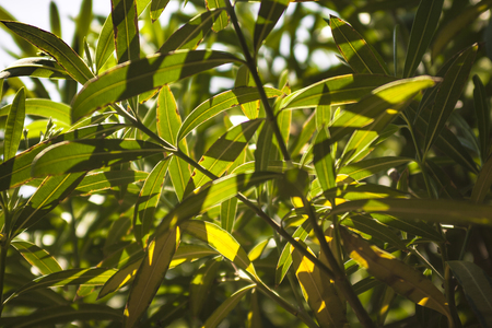 Detail of oleander leaves illuminated by the summer sun #14