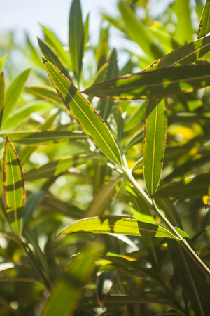 Detail of oleander leaves illuminated by the summer sun