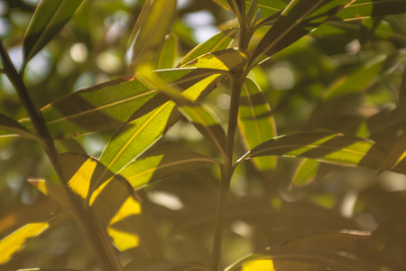 Detail of oleander leaves illuminated by the summer sun #2