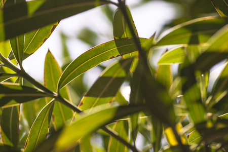 Detail of oleander leaves illuminated by the summer sun #5