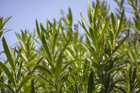 Detail of oleander leaves illuminated by the summer sun #6