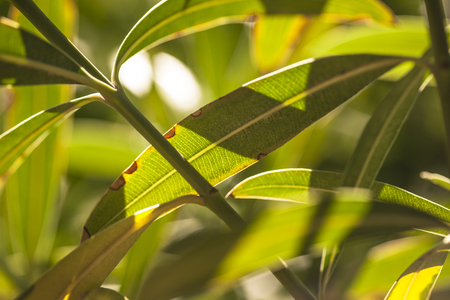 Detail of oleander leaves illuminated by the summer sun #7