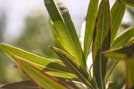 Detail of oleander leaves illuminated by the summer sun #8