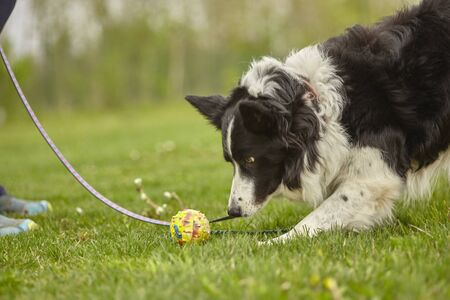 Dog plays with the ball at the park