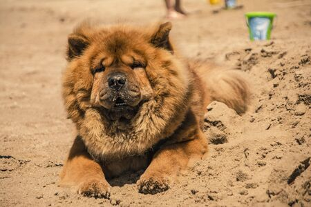 Beautiful specimen of Akita dog with orange fur on the sand of the beach Stock Photo - 124985537
