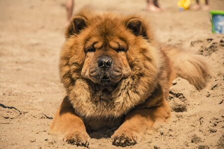Beautiful specimen of Akita dog with orange fur on the sand of the beach