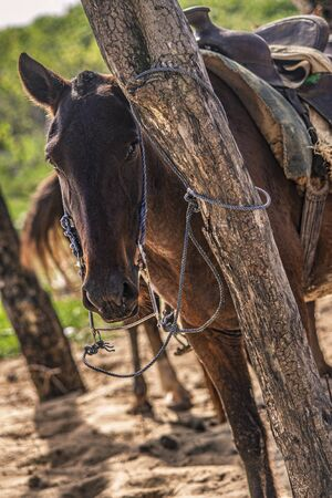 Horses tied to a tree in a group during a trip to the Dominican Republic