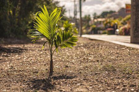 Little palm tree near the street in Dominicus street, Dominican Republic