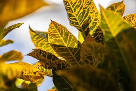 Croton, Codiaeum variegatum Leaves: A tropical ornamental plant Banco de Imagens