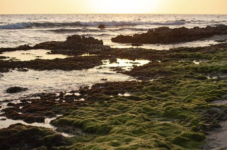 Seaweed on the rocks in the Caribbean sea at sunset