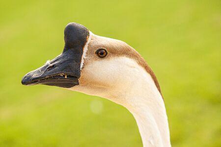 Anser cygnoides Also called the Capitol Goose in a garden