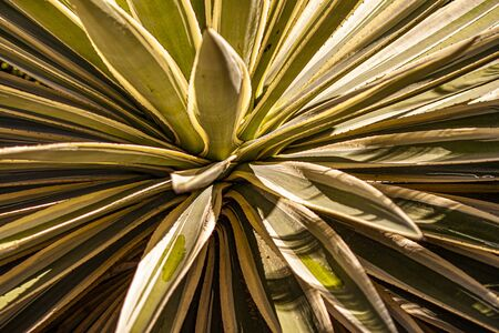 Aloe plant texture with leaves explosion effect