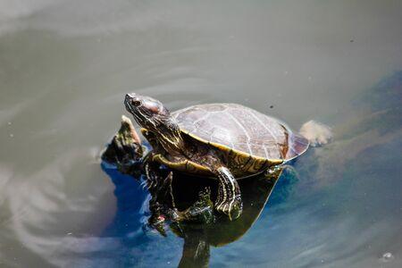 Aquatic turtle in a pond in the Dominican Republic