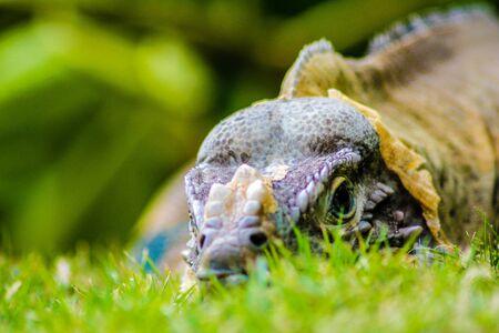 Iguana perched in the green grass in Dominica Republic
