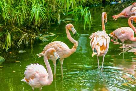 Pink flamingos perched in a pond in the Dominican Republic 版權商用圖片