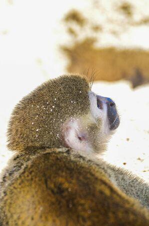 Spider monkey or Ateles kept on a leash on the beach 版權商用圖片