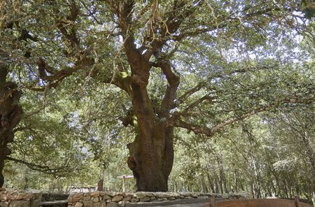 Secular tree in Sardinia during summer time in a sunny day