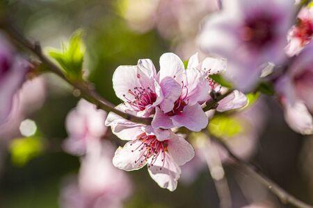 Peach Flower in Spring, image taken with macro lens