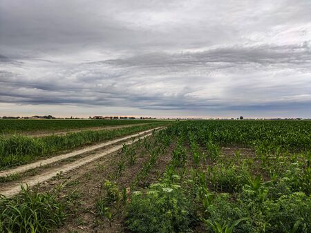 Corn cultivation in Italy under a stormy sky in spring