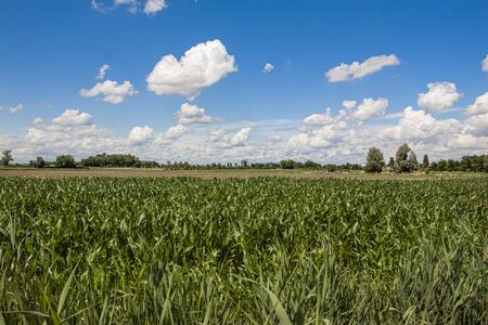 Corn field under a blue sky with clouds in a sunny day