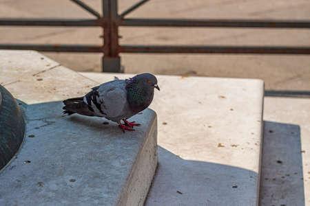 Pigeon walks on the sidewalk in Venice in Italy