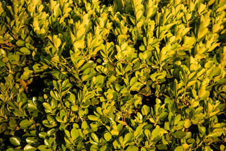 Hedge leaves texture detail in nature in spring