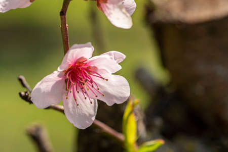 Macro detail of a peach blossom in spring time