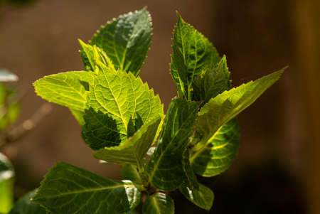 Macro detail of leaves with veins in backlight at spring